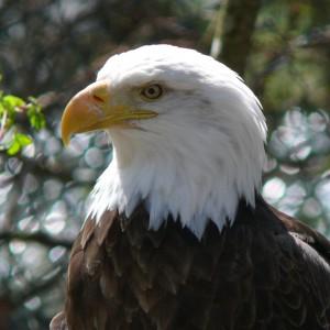 Bald_Eagle-27527